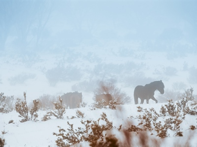 Obscured in the Mist: Australian Snowy Brumbies, Wild Horses...