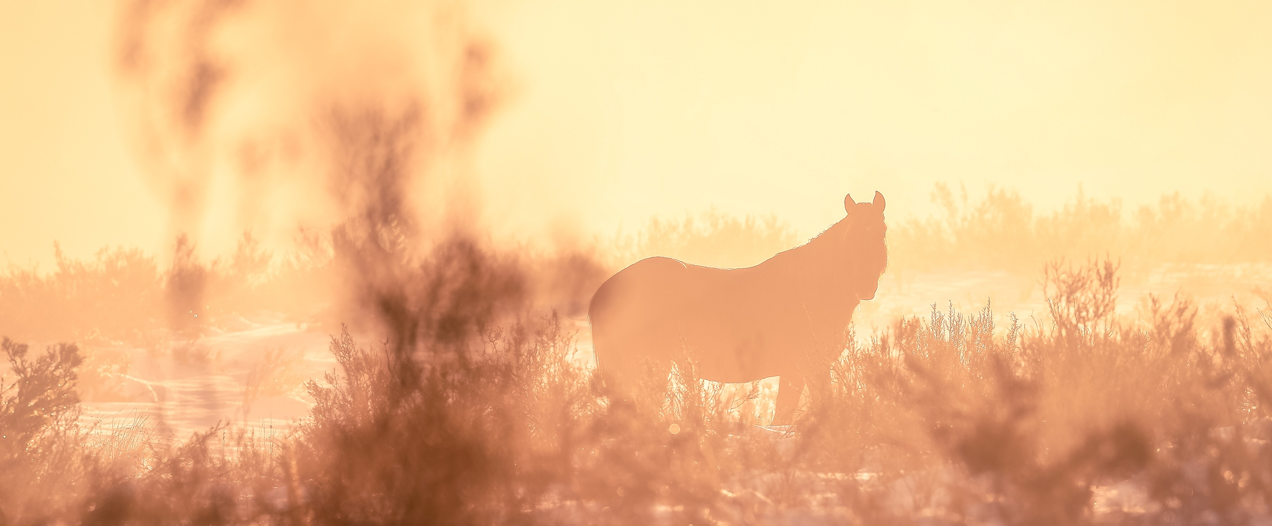 Reunited with the Lone Palomino Brumby at Sunrise: Australian Snowy Mountains, Wild Horses of the World