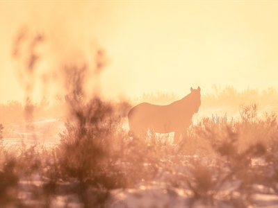 Reunited with the Lone Palomino Brumby at Sunrise: Australian...