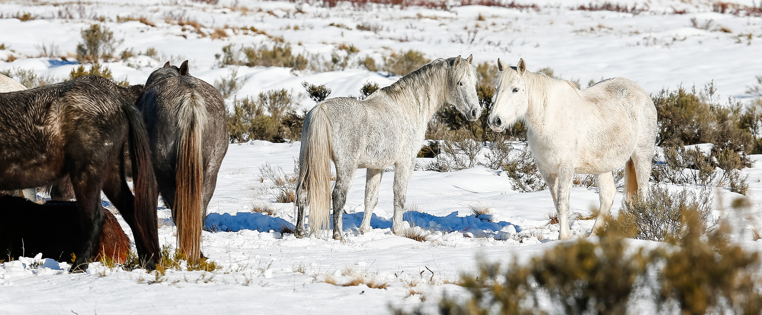 Nine Shades of Grey: Australian Snowy Mountains, Wild Horses of the World