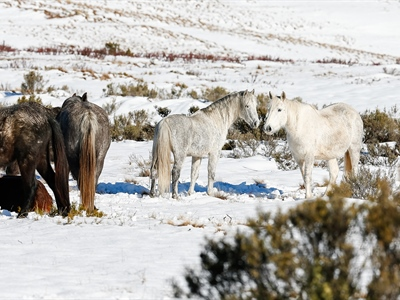 Nine Shades of Grey: Australian Snowy Mountains, Wild Horses...