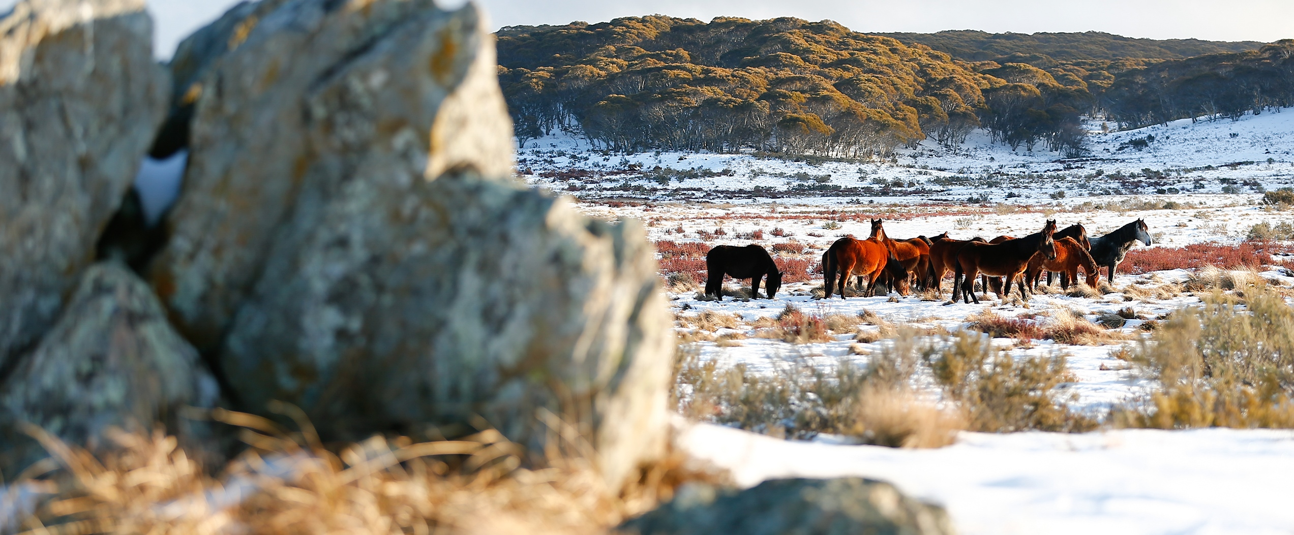 25 Brumbies at Sunset: Australian Snowy Brumbies, Wild Horses of the World