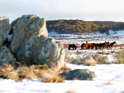 25 Brumbies at Sunset: Australian Snowy Brumbies, Wild Horses...