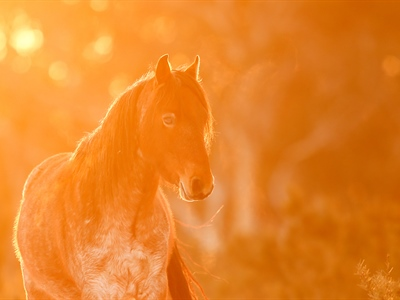 The Lone Brumby Colt: Australian Snowy Mountains, Wild Horses...
