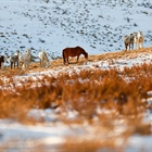 Brumbies at Sunrise: Australian Snowy Brumbies, Wild Horses of the World