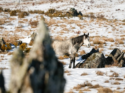 Greys among the Rocky Tors: Australian Snowy Brumbies, Wild...