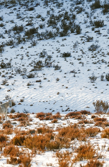 The Lone Stallion: Australian Snowy Mountains, Wild Horses of...