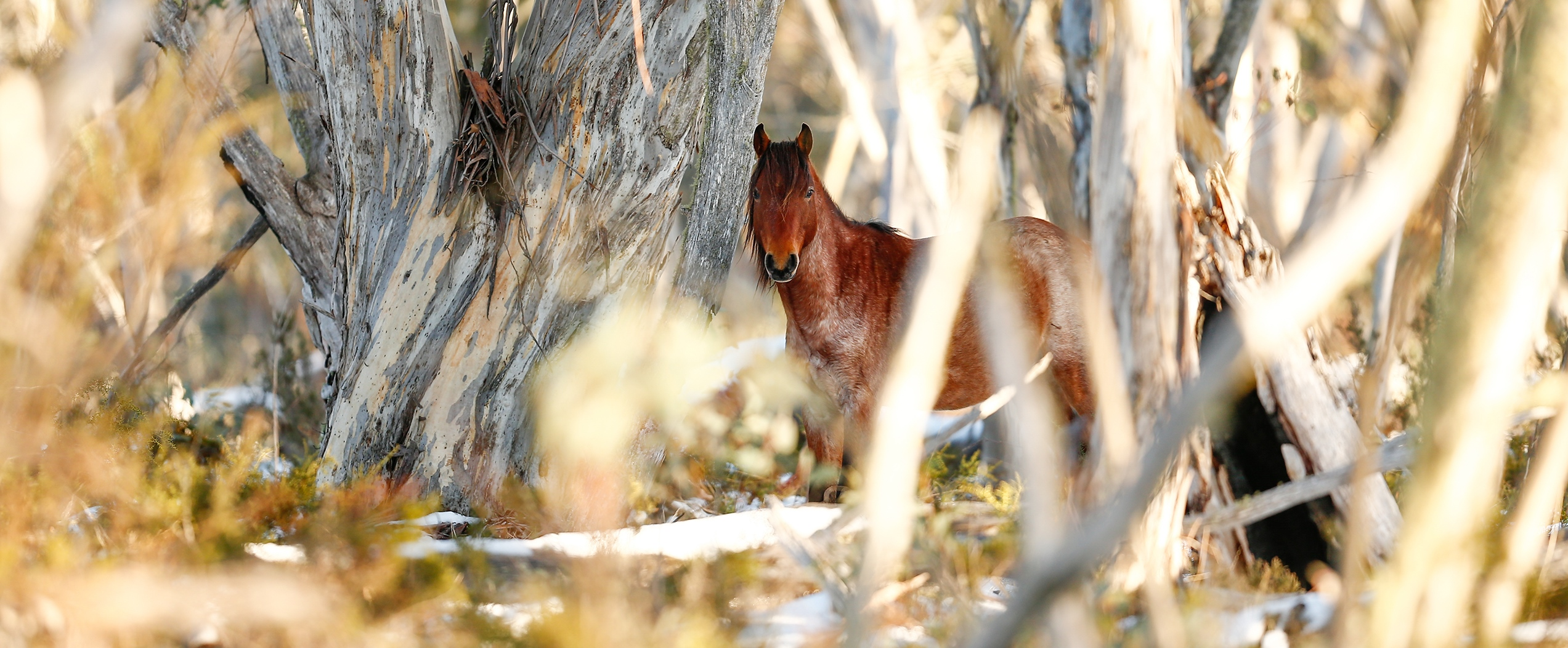 Reunited with the Roan Bachelor: Australian Snowy Mountains, Wild Horses of the World