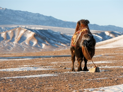 Day 4: Gobi Cold Camel Expedition