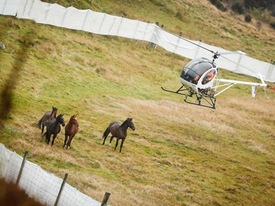 The heartbreak of Watching Helicopters Round Up New Zealand's...