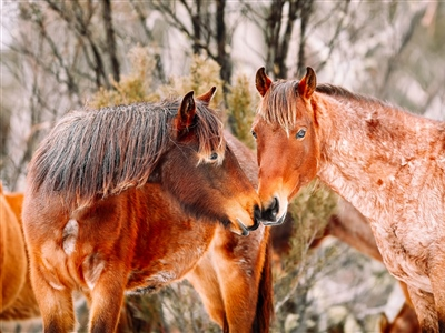 Bay and Roan Snow Brumbies